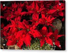 Merry Scarlet Poinsettias Christmas Star Acrylic Print
