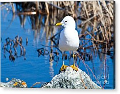 Mew Gull Acrylic Print by Chris Heitstuman