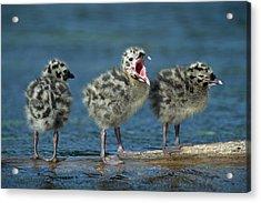 Mew Gull Three Chicks Acrylic Print