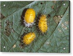 Mexican Bean Beetle Larvae Acrylic Print