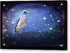 Mexican Blue Jay Acrylic Print