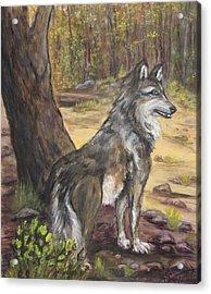 Mexican Gray Wolf Acrylic Print by Caroline Owen-Doar