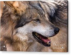 Acrylic Print featuring the photograph Mexican Gray Wolf by Chris Scroggins
