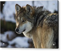 Mexican Gray Wolf Acrylic Print