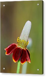 Mexican Hat Acrylic Print