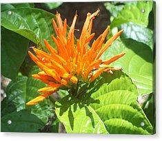 Mexican Orange Honeysuckle  Acrylic Print by Lisa Williams