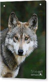 Mexican Wolf #3 Acrylic Print