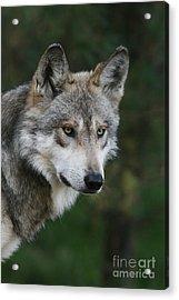 Mexican Wolf #4 Acrylic Print
