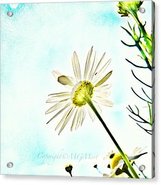 #mgmarts #daisy #flower #morning Acrylic Print