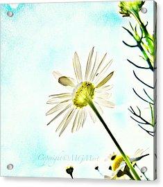 #mgmarts #daisy #flower #morning Acrylic Print by Marianna Mills