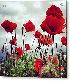 #mgmarts #poppy #weed #flower #spring Acrylic Print by Marianna Mills