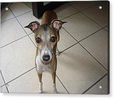 Mia Giselle - I Am So Petite - Italian Greyhound Acrylic Print by Santos Arellano