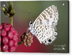 Miami Blue Butterfly I Acrylic Print by Pamela Gail Torres