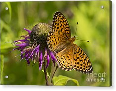 Michigan Fritillary Acrylic Print by Dan Hefle