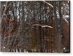 Michigan Redtail Hawk Acrylic Print