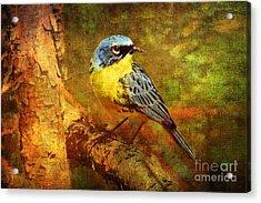 Michigans Rare Kirtlands Warbler Acrylic Print