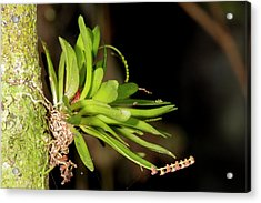 Micro Orchid Acrylic Print by Dr Morley Read