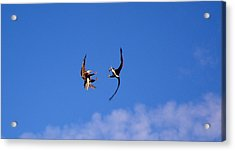 Mid Air Mating Dance Acrylic Print