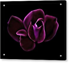 Midnight Knockout Rose Acrylic Print