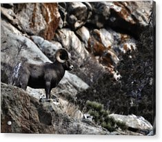 Acrylic Print featuring the photograph Midnight Ram-bler by Kevin Munro