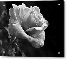Midnight Rose In Black And White Acrylic Print