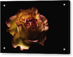 Midnight Rose Acrylic Print by Kim Andelkovic