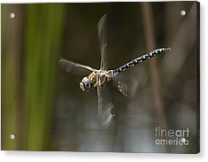 Migrant Hawker Dragonfly In Flight Acrylic Print