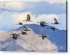 Acrylic Print featuring the photograph Migration by Beverly Parks