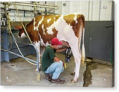 Milking A Cow Acrylic Print by Jim West