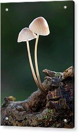 Milking Bonnet Fungi (mycena Galopus) Acrylic Print