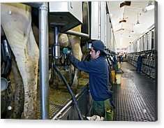 Milking Parlour Acrylic Print by Jim West
