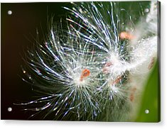 Milkweed Seed Acrylic Print