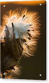 Milkweed Seed Pod Acrylic Print