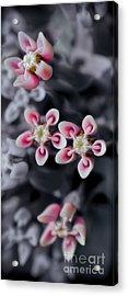 Milkweed Snowflakes Acrylic Print