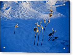 Milkweeds In The Snow Acrylic Print by Dan  Meylor
