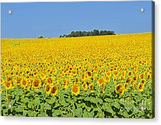 Millions Of Sunflowers Acrylic Print by Eva Kaufman