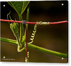 Mimic Acrylic Print by Christopher Holmes