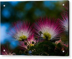 Mimosa Blossoms Acrylic Print