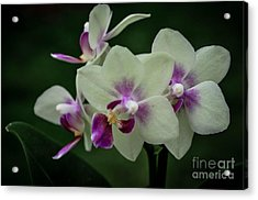 Minature Orchids Acrylic Print by Carol A Commins