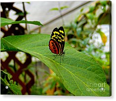 Mindo Butterfly Poses Acrylic Print by Al Bourassa
