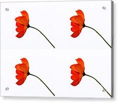 Mini Daisy Four Acrylic Print by Tina M Wenger