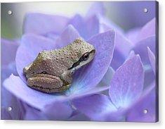 Mini Frog On Hydrangea Flower  Acrylic Print by Jennie Marie Schell