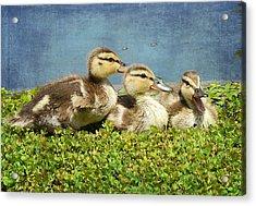 Mini Quackers 2 Acrylic Print by Fraida Gutovich