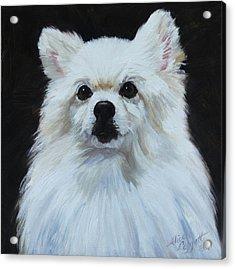 Miniature American Eskimo Dog Acrylic Print by Alice Leggett