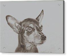 miniature pinscher Tronter Acrylic Print