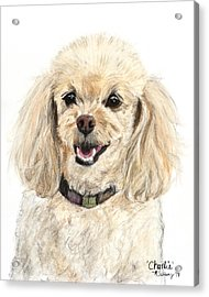 Miniature Poodle Painting Champagne Acrylic Print