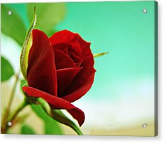 Acrylic Print featuring the photograph Miniature Rose by Kathy Churchman