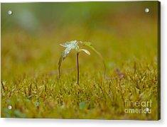 Miniature Tree Acrylic Print by Sarah Crites