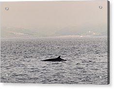 Minke Whale Acrylic Print by Kai Bergmann