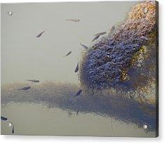 Minnows Feeding On Algae Acrylic Print by Terry Cobb